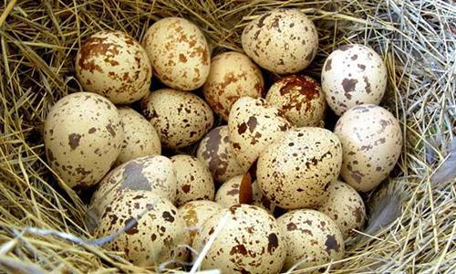 перепелиные-яйца-при-грудном-вскармливании