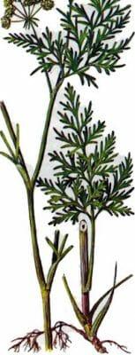 жгун корень